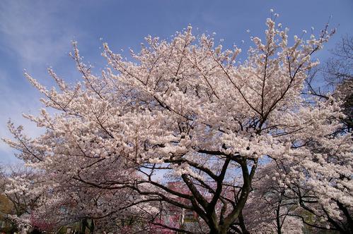 東京機票櫻花祭景點推薦新宿御苑