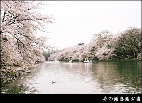 東京機票櫻花祭景點井之頭恩賜公園